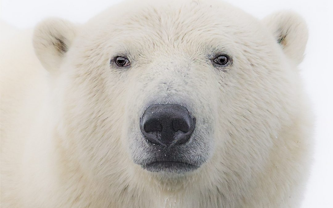 Let's Keep Polar Bears Where They Belong: In the Wild – Rob Laidlaw